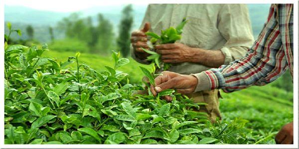 برگ-سبز-چای