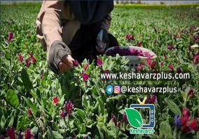 درآمد زایی با کشت گیاهان دارویی نسبت به کم آبی و شوری منطقه