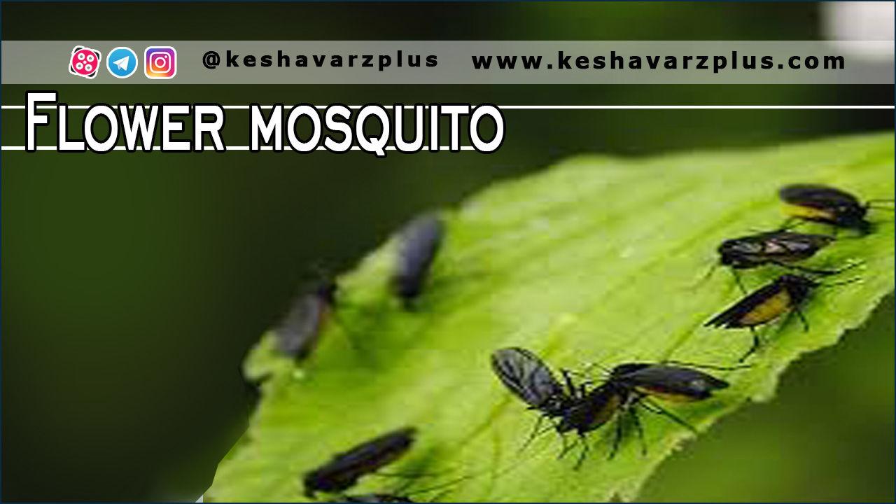 آموزش چندین روش مبارزه با آفت پشه گلدانی (پشه قارچ یا مگس سیاه خاک)
